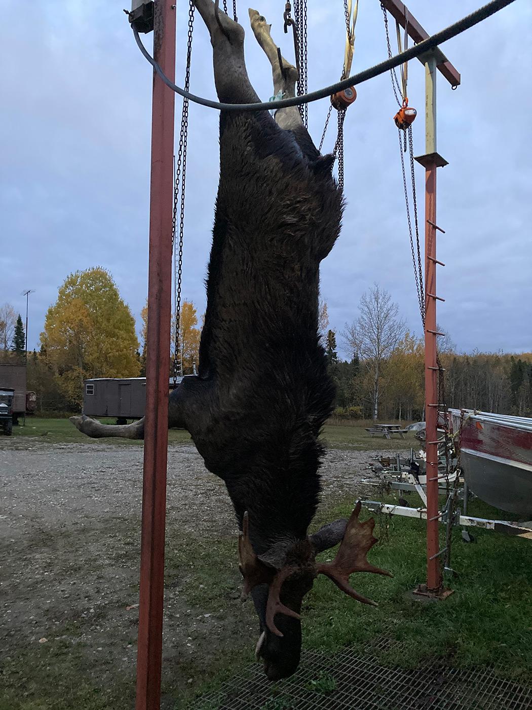 Hunted Moose Hung In Camp